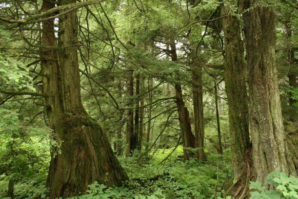 Tsuga_heterophylla_forest
